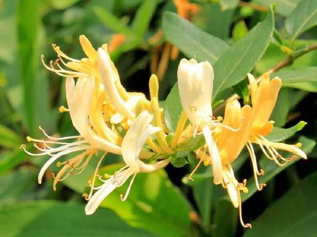57. Tipos de flores madressilva – Foto: Minhas Plantas