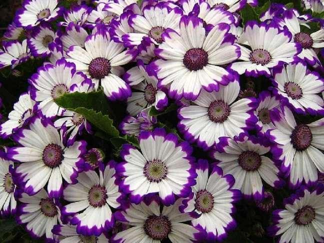 13. O outro nome de flores que a cinerária é conhecida é cinerária-dos-floristas – Foto Mercado Livre