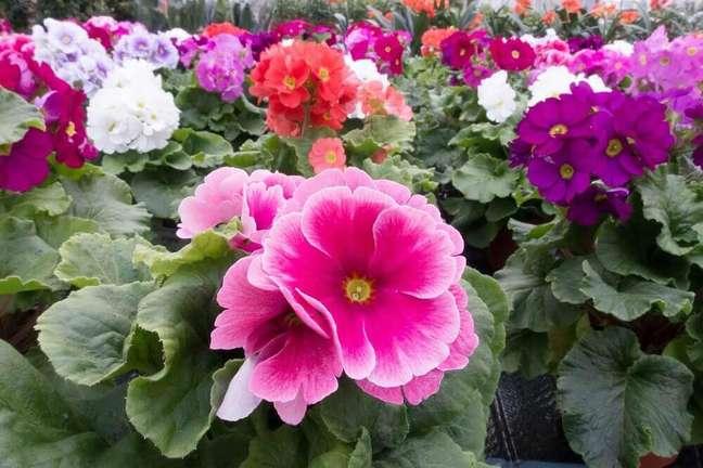 36. A prímula são tipos de flores coloridas que exalam um suave perfume – Foto Pixabay