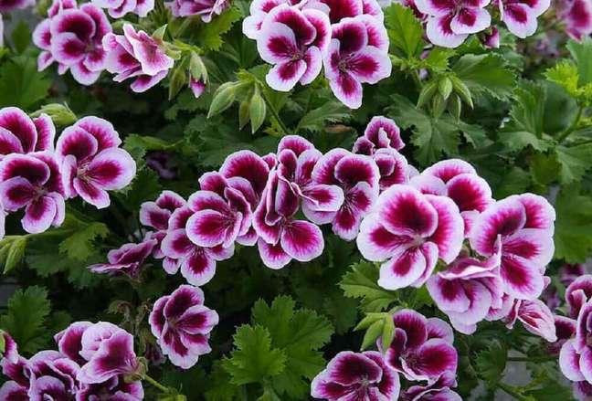 19. O gerânio proporciona muita beleza na decoração e em fotos de plantas Foto iStock
