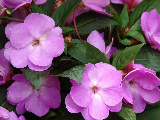 51. O beijo-pintado são tipos de flores coloridas que não toleram o calor intenso. Foto O Meu Jardim