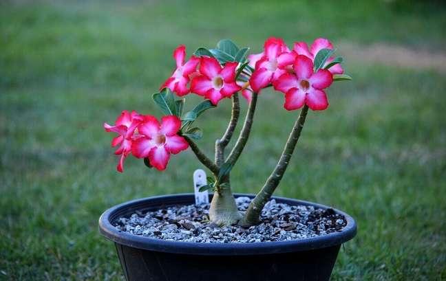 40. A rosa-do-deserto são tipos de flores coloridas suculentas – Liege Barbalho