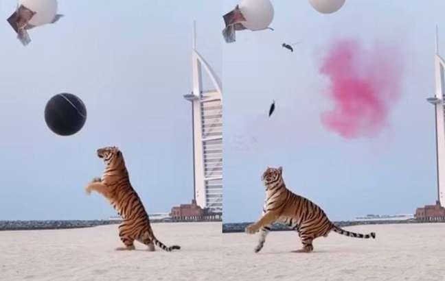 Vídeo de tigre em chá revelação gerou polêmica nas redes sociais