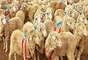 Las ovejas son egoístas: comprobado. Mediante mochilas con transmisores satelitales colocadas sobre los animales de un rebaño, investigadores británicos lograron explicar el comportamiento colectivo de las ovejas. Viven en rebaños no porque sean sociables, sino para asegurar su superviviencia individual. Cuando se ven ante un peligro, los animales en el rebaño huyen hacia el centro para perderse en la multitud y pasar desapercibidos.