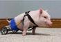 El veterinario adoptó el cerdo y lo llamó Chris P. Bacon, y después le hizo una silla de ruedas con los juguetes de su hijo.