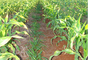 Espaçamento entre linhas de plantação de milho deve ter entre 40cm e 60cm