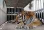 Ty, um tigre de 17 anos, foi levado a veterinários na Flórida depois de não comer direito por cerca de duas semanas