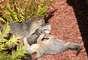 Família de raposas adotou a sede do Facebook em Menlo Park, na Califórnia, como lar
