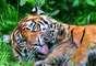 Segundo a IUCN, a maior ameaça a esta subespécie de tigre é a perda de habitat para plantações. Além disso, o animal sofre com a caça e o desaparecimento de presas