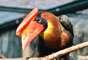Criticamente ameaçado de extinção: acredita-se que existam cerca de 1,5 mil pássaros da espécie Aceros waldeni em ilhas das Filipinas. A baixa população e pequeno habitat podem acabar com esse animal