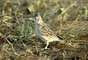 """O Alauda razae vive em Cabo Verde e estima-se em 1.490 a população. A desertificação da região e a predação dos ninhos por outros animais colocam o bicho na categoria """"criticamente ameaçado"""", a mais extrema antes da extinção do animal na natureza"""