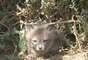 """A raposa-das-ilhas já foi considerada criticamente ameaçada, mas um intenso trabalho de conservação foi realizado desde uma queda catastrófica da população nos anos 1990. O animal sofreu com a predação de um invasor - a águia-dourada - e um vírus. Restrita às ilhas do Canal da Califórnia (EUA), passou de menos de 1,5 mil em 2001 a 4 mil em 2011. Hoje a classificação melhorou bastante e o animal é considerado """"quase ameaçado"""""""