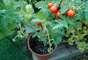 Do vasinho (foto) a uma jardineira ou no quintal, o tomate é um dos alimentos para ser cultivado, independentemente do espaço