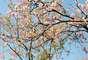 Bosque das Cerejeiras encanta o público que conferiu a festa no Parque do Carmo