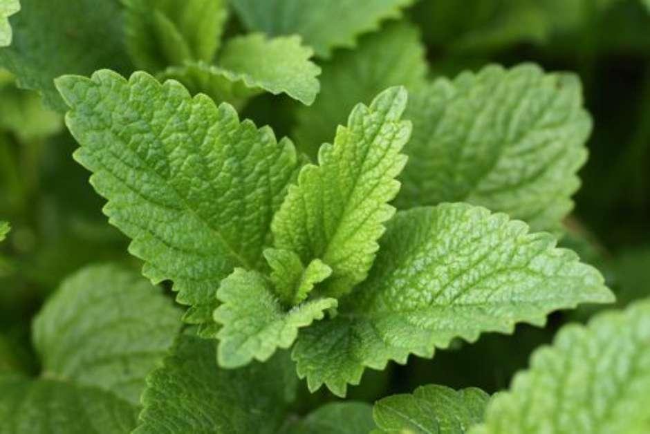 Confira os benefícios da erva-cidreira para a saúde
