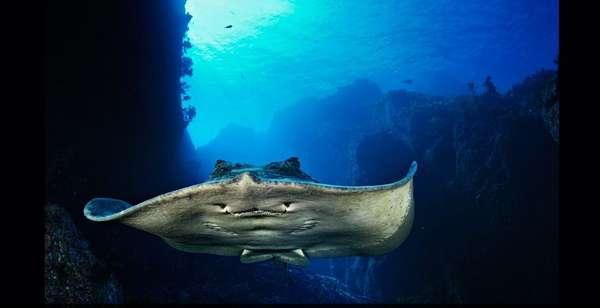 El fotógrafo Brian Skerry arriesga su vida nadando junto a las criaturas más peligrosas del mar, desde ballenas gigantes a tiburones. En esta imagen se aprecia una raya de cola corta, cuyo aguijón de hasta 30 centímetros puede causar heridas graves en humanos.