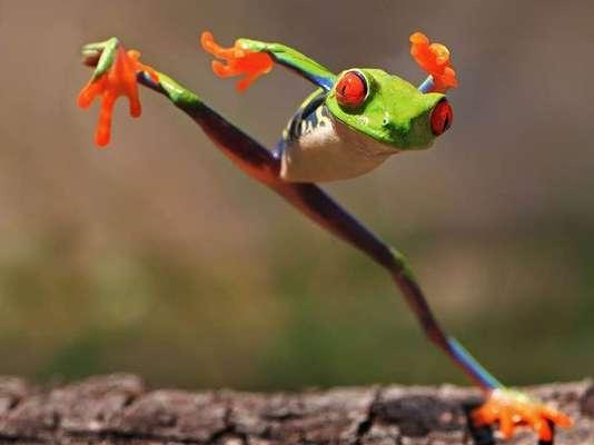Esta rana adopta una posición como si estuviera haciendo artes marciales en Indonesia. Pero está desplazándose.