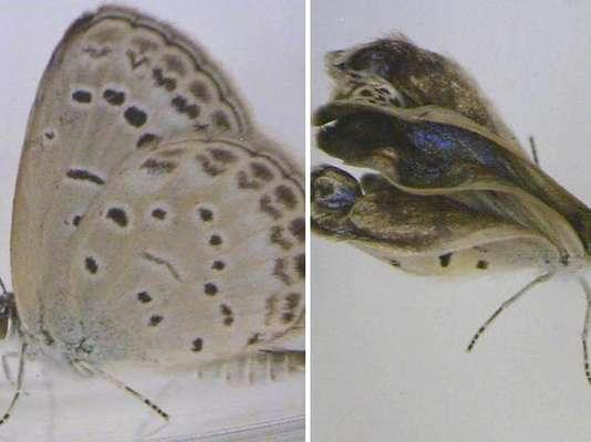 1 - La mutación de las mariposas de FukushimaLa exposición a material radioactivo tras el desastre de Fukushima causó mutaciones en las mariposas de Japón, según un nuevo estudio.Las mariposas recolectadas luego del accidente muestran cambios en la longitud de sus patas y antenas, así como en la forma de las alas.