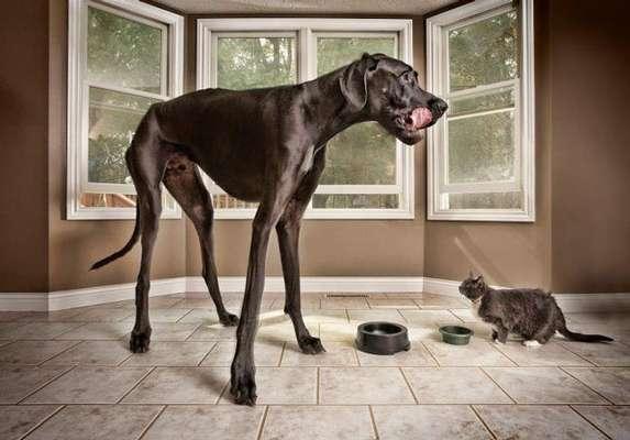 En imágenes, la vida de Zeus, el perro que mide un metro doce centímetros y que fue declarado el perro más grande del mundo por el Libro Guinnes de los Récords.