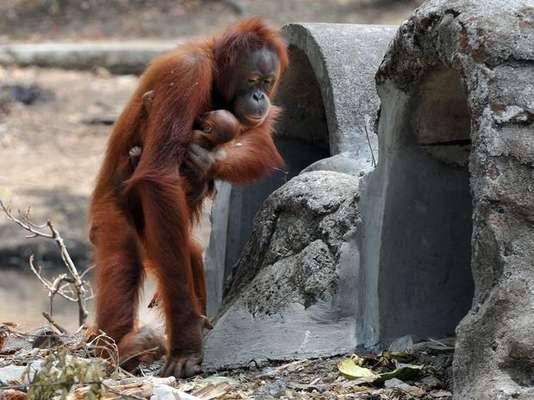 Tori es una de las orangutanas más famosas del mundo. Su fama llegó de la mano de su vicio: el cigarrillo. No deja de llamar la atención cómo fuma este orangután de Indonesia, que tuvo que entrar a un programa para dejar el tabaco cuatro meses atrás, debido a su embarazo.