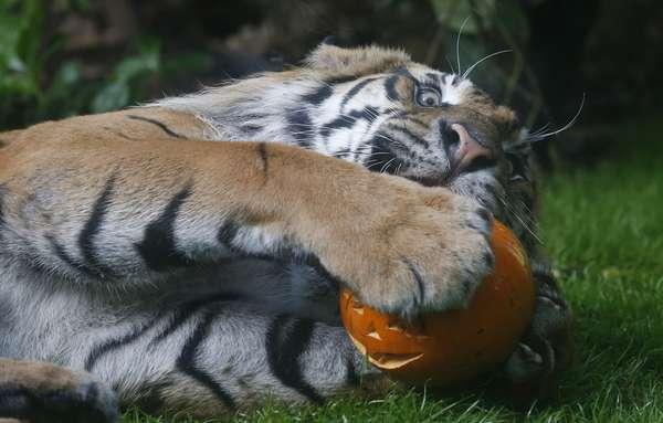 """El tigre """"Jae Jae"""" disfruta de una calabaza esculpida en el zoológico de Londres, Reino Unido."""