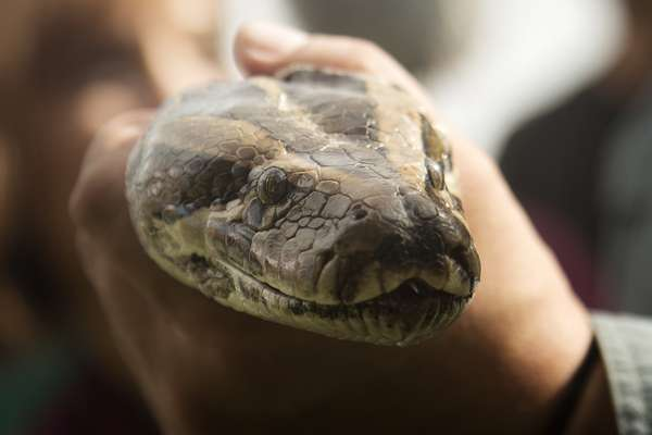 """Le apodan """"Lagarto"""", tiene la experiencia de toda una vida en los Everglades de Florida, posee una flota de hidrodeslizadores y conoce los hábitats de mamíferos que son presa de grandes reptiles. A pesar de todos estos antecedentes, Ron Bergeron no ha logrado llevar a un grupo de cazadores hasta donde se encuentre una sola pitón de Birmania en la región."""