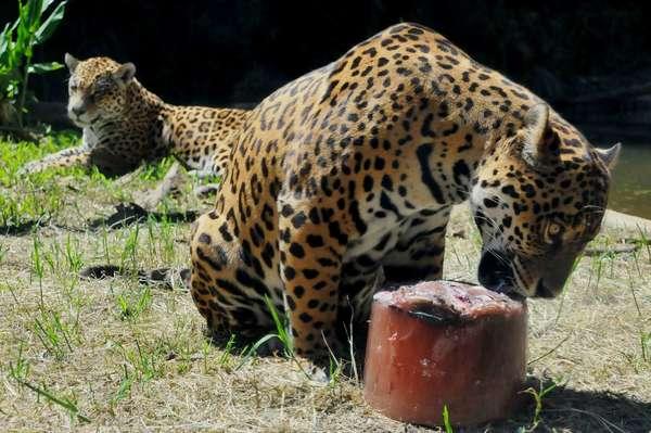 As altas temperaturas do verão fizeram o Gramadozoo, na Serra Gaúcha, dar picolés de carne e peixe para os pumas (Puma concolor) e as onças-pintadas e pretas (Panthera onca). Segundo o zoológico, a medida ainda serviu para diminuir o estresse do cativeiro