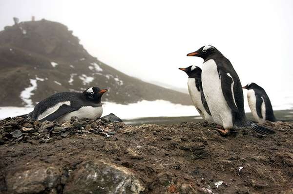 Los expertos continúan advirtiendo a la comunidad global sobre el ritmo alarmante de la desaparición del hielo en la Península Antártica, que pone en riesgo directo la existencia de al menos la mitad de las 18 especies de pingüinos en el mundo, que dependen del hielo y las aguas gélidas donde habita el krill, la principal dieta de éstos.