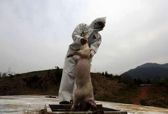 Chineses processam carcaças de porcos mortos em um rio que é fonte de água para a região de Xangai: autoridades disseram que a limpeza do rio está praticamente concluída e que a água da cidade continua própria para consumo
