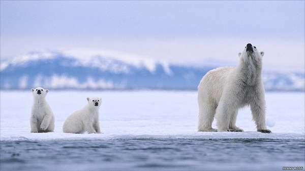A fotógrafa e ambientalista americana Jenny E. Ross, com Andrew Derocher, professor de ciências biológicas na Universidade de Alberta, está analisando como a mudança climática afeta a vida de ursos polares e coloca o futuro da espécie em perigo.
