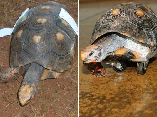 """Uma tartaruga Chelonoidis carbonaria, chamada de Rubinho, recebeu nesta quinta-feira """"asas"""" de PVC para evitar sofrer quedas, no Hospital Veterinário de Uberaba (MG)"""