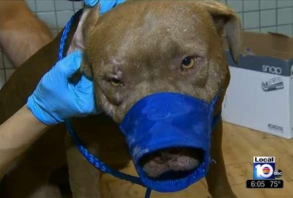 Frame de TV mostra um dos cães utilizados em brigas dentro do porta-malas de carros na localidade de Gould, Estado americano da Flórida