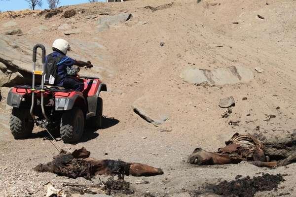 """O governo da Austrália Central, região do Território do Norte, anunciou nesta quarta-feira que pretende abater cerca de 10 mil cavalos selvagens para evitar um """"desastre natural"""""""