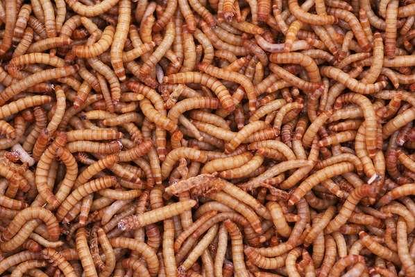 O besouro tenebrio comum é o inseto comestível líder de produção no Brasil. As larvas servem de alimento para pássaros como o azulão e o sabiá, por exemplo