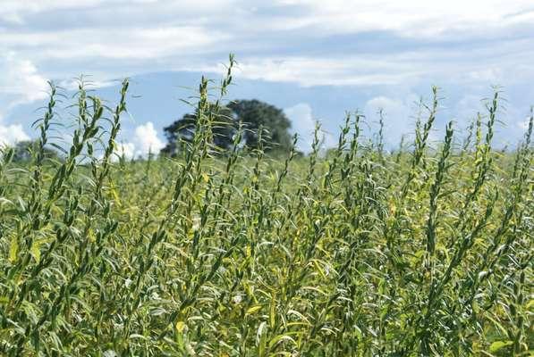 Gergelim orgânico pode ser replicado em todo o semiárido e também no Centro-Oeste e Sudeste