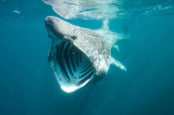 O tubarão-peregrino costuma ter cerca de 10 metros (registros indicam animais que passam dos 12 metros) e chama a atenção por sua enorme boca. Segundo a União Internacional para a Conservação da Natureza, ele se alimenta basicamente de zooplâncton, ovas e pequenos peixes. Veja a seguir, outras incríveis imagens dos nossos mares