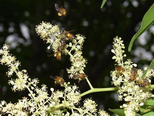 Polinização, como a praticada pela abelha africanizada em flores da cajazeira, atua diretamente na produtividade do cultivo