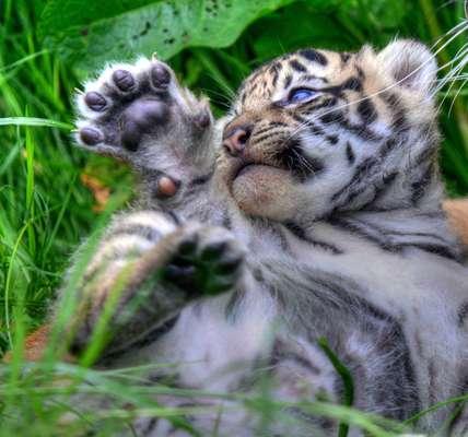 """Dois tigres-de-Sumatra (Panthera tigris sumatrae) fazem a primeira aparição no zoológico de Chester, no Reino Unido. A subespécie é considerada """"criticamente ameaçada"""" de extinção pela União Internacional pela Conservação da Natureza"""