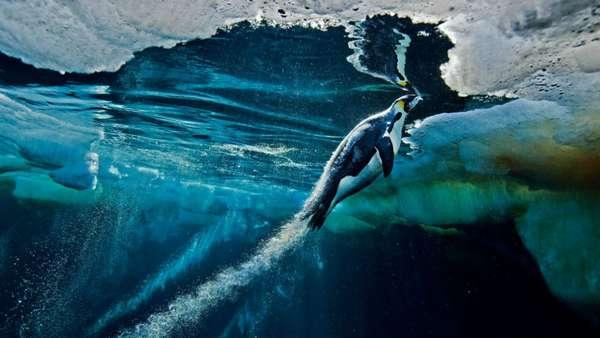 Habituado ao frio extremo, Paul Nicklen vive em uma ilha do Ártico canadense desde os quatro anos de idade. Após anos de colaboração com revistas como a 'National Geographic', Nicklen é considerado um profissional experiente com expedições de mais de 10 mil quilômetros pelo Ártico no currículo. Nesta imagem, ele retrata um pinguim imperador na Antártida, na região do mar de Ross