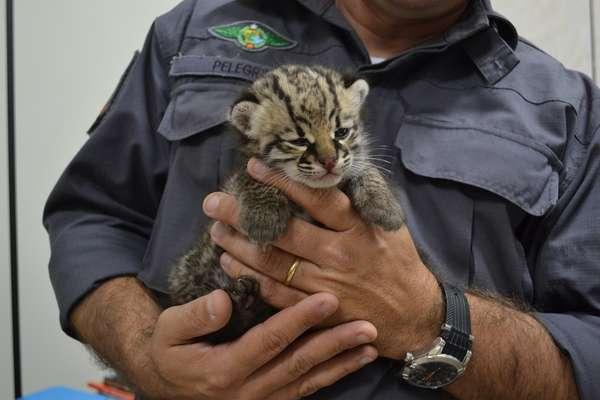 Policial segura filhote de jaguatirica resgatado Lins, no interior de São Paulo