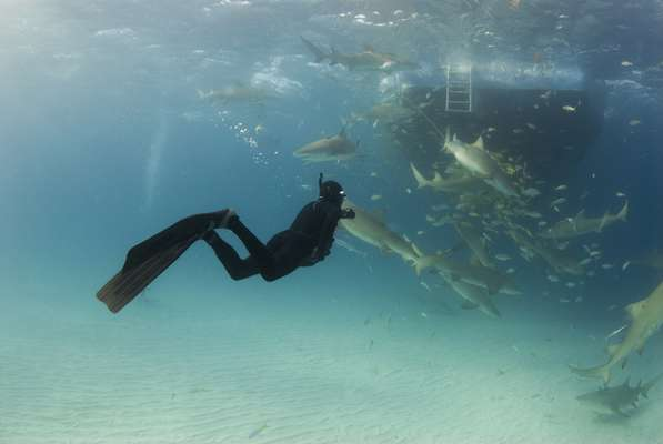 BahamasApesar de paradisíacas, as águas cristalinas das Bahamas abrigam cerca de quarenta espécies diferentes de tubarões. Em áreas como as ilhas Bimini, é possível avistar abundantes tubarões-touro em mergulhos em jaulas. Para os menos corajosos, nada como passeios em submarino para ver de perto os perigosos animais