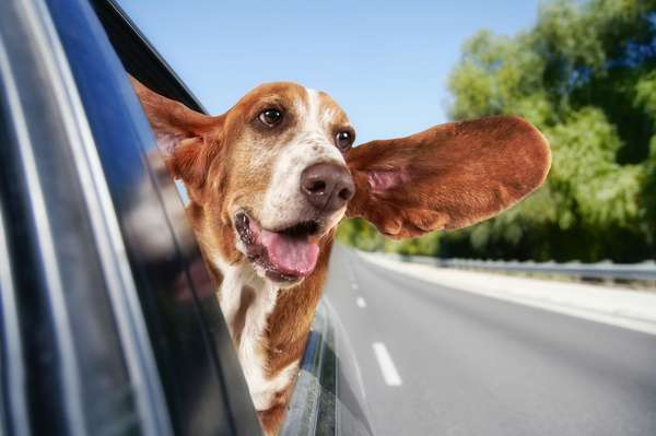 O aconselhado é nunca transportar cães e gatos soltos se o motorista estiver sozinho
