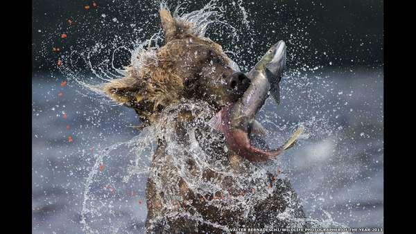 O italiano Valter Bernardeschi foi motivo de menção honrosa na categoria de mamíferos. A cada ano, entre julho e setembro, milhões de salmões-vermelhos retornam do Pacífico aos rios de águas cristalinas do Lago Kuril, para reproduzir onde nasceram. O excesso de peixes atrai os ursos marrons Kamchatka das florestas do entorno, que aproveitam a comilança para acumular gordura para o período de hibernação
