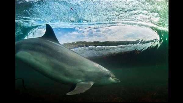 Os vencedores do British Wildlife Photography Awards foram anunciados. E a grande vencedora foi essa imagem de um incrível encontro com um golfinho intitulada In the living room (Na sala, em tradução livre). George Karbus, que registrou o momento, disse que a visibilidade dentro dágua é muito limitada na Irlanda, e eu tive muita sorte em conseguir fotografar esse momento.