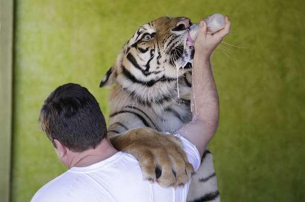 Ary Borges dá leite na mamadeira para o tigre Dan, que pesa mais de 315 quilos e é tratado como animal doméstico na casa da família em Maringá (PR)