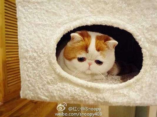 Um pequeno gatinho chinês vem conquistando muitos fãs na web, rompendo as fronteiras da internet chinesa. Snoopy, que vive em Chengdu, na província de Sichuan, faz sucesso na rede de microblos chinesa Weibo, onde já conta com mais de 275 mil seguidores. Na sua conta do Instagram, mais de 200 mil pessoas seguem o pet, uma mistura de gato de pelo curto americano com persa