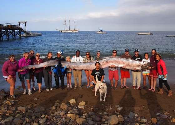 """Um exemplar do lendário peixe-remo, o maior peixe ósseo do mundo, foi encontrado em uma praia na Ilha de Santa Catalina, na Califórnia. Um instrutor de uma escola de navegação descobriu a carcaça enquanto mergulhava na região. Com 5,4 metros, o peixe foi carregado por 15 pessoas no dia 13 de outubro.Credita-se a esse animal boa parte dos relatos de """"monstros"""" marinhos feitos por pescadores"""