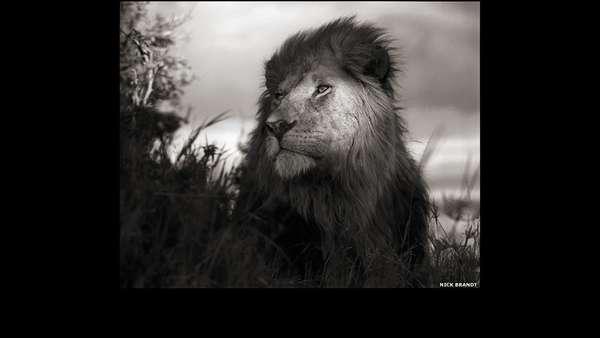 A parte final da trilogia do fotógrafo Nick Brandt, mostrando as paisagens naturais e a vida selvagem do leste da África está exposta na Atlas Gallery, em Londres. Acima, leão em Maasai Mara