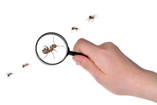 Das quase 13 mil espécies de formigas existentes na natureza, apenas 30 costumam invadir nossas casas