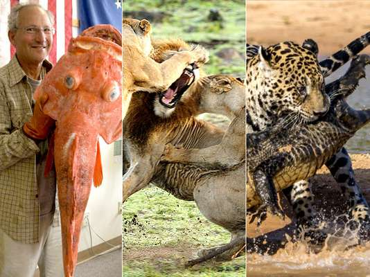 Uma onça-pintada ataca um jacaré no Pantanal. Na África, leoas defendem seus filhotes. Nos Estados Unidos, um pescador fisga um peixe que teria 200 anos. O ano de 2013 foi cheio de fotos incríveis de animais. Veja a seguir, as melhores delas